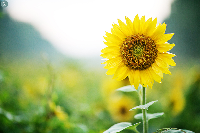 Image Gallery sunflower photography
